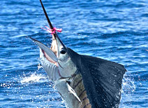 Sport Fishing for Sailfish