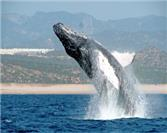 Whale Watching in Los Cabos: A Magical Experience