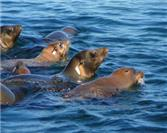 Seals, Whales, and Rays in the Sea of Cortez