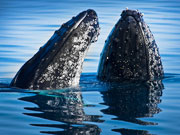 Grey whales in Los Cabos