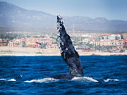 Migration of the whales through Los Cabos