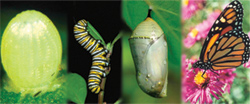 Life Cycle of a Monarch Butterfly
