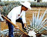 Tequila: A Very Mexican Beverage