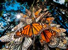The Monarch Butterfly Tour