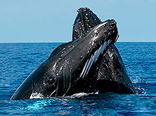 Whale Watching and Cayo Levantado Tour